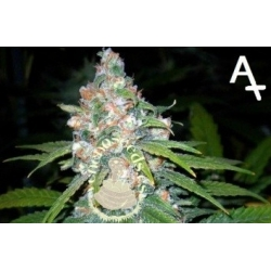 AUTO LIMON HAZE VS.